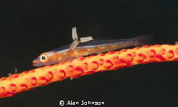 a whip coral Goby with parasite , taken in Lembeh Sulawesi by Alan Johnson 